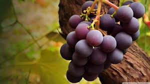 Hroznové víno ochraňuje zrak